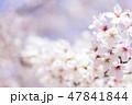 桜 春 花の写真 47841844