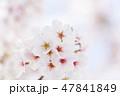 桜 春 花の写真 47841849