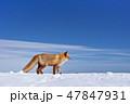 キタキツネ 冬 狐の写真 47847931
