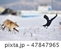 カラスを追いかけるキタキツネ(北海道) 47847965