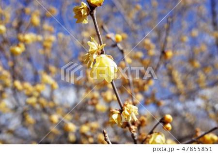 美しい蝋梅の花 47855851