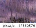 あしかがフラワーパーク 藤 ライトアップの写真 47860579