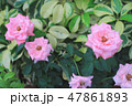 the rose flower at flower bed 47861893