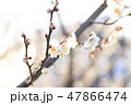 梅 花 春の写真 47866474