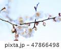 梅 花 春の写真 47866498