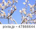 梅 花 春の写真 47866644