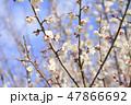 梅 花 春の写真 47866692