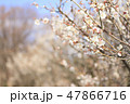 梅 花 春の写真 47866716