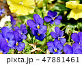 ビオラ スミレ目 スミレ科の写真 47881461