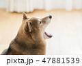 柴犬の横顔 47881539
