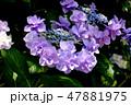 ガクアジサイ 紫陽花 ハイドランジアの写真 47881975