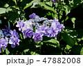 ガクアジサイ 紫陽花 ハイドランジアの写真 47882008