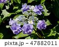 ガクアジサイ 紫陽花 ハイドランジアの写真 47882011