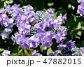 ガクアジサイ 紫陽花 ハイドランジアの写真 47882015