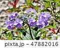 ガクアジサイ 紫陽花 ハイドランジアの写真 47882016