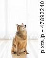 柴犬のポートレート 47892240