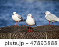 ユリカモメ 鳥 カモメ科の写真 47893888