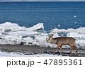 流氷 エゾシカ 海の写真 47895361