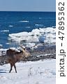 流氷 エゾシカ 海の写真 47895362