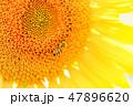 【山梨県】明野のひまわり ミツバチ 47896620
