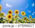 ひまわり ひまわり畑 向日葵の写真 47896627