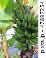 木に実るバナナ 47897254