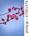 梅の花 2019 47901478