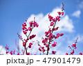 梅の花 2019 47901479