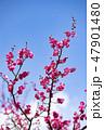梅の花 2019 47901480