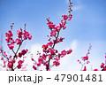 梅の花 2019 47901481