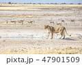 メスライオン(ナミビア)⑥ 47901509