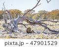 ライオン(ナミビア)② 47901529