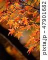 紅葉 もみじ 楓の写真 47901682