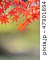 紅葉 もみじ 楓の写真 47901694