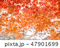 紅葉 もみじ 楓の写真 47901699