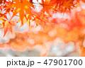 紅葉 もみじ 楓の写真 47901700