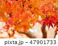 紅葉 もみじ 楓の写真 47901733