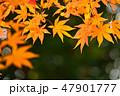 紅葉 もみじ 楓の写真 47901777