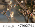 梅の花 梅 花の写真 47902741
