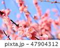 梅 春 花の写真 47904312