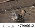 水浴びをするタシギ 47906612