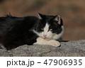 日向ぼっこをする白黒の野良猫 47906935