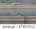 蓮田に生息するタゲリ 47907411