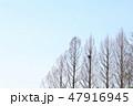 春のメタセコイア 空 鳥の巣 47916945