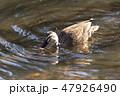 鴨 水鳥 泳ぐの写真 47926490