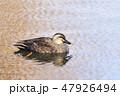 鴨 水鳥 泳ぐの写真 47926494