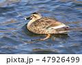 鴨 水鳥 泳ぐの写真 47926499