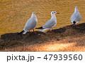 ユリカモメ 野鳥 鳥の写真 47939560