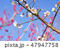 梅 花 春の写真 47947758