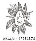 アボカド アボガド 鰐梨のイラスト 47951378